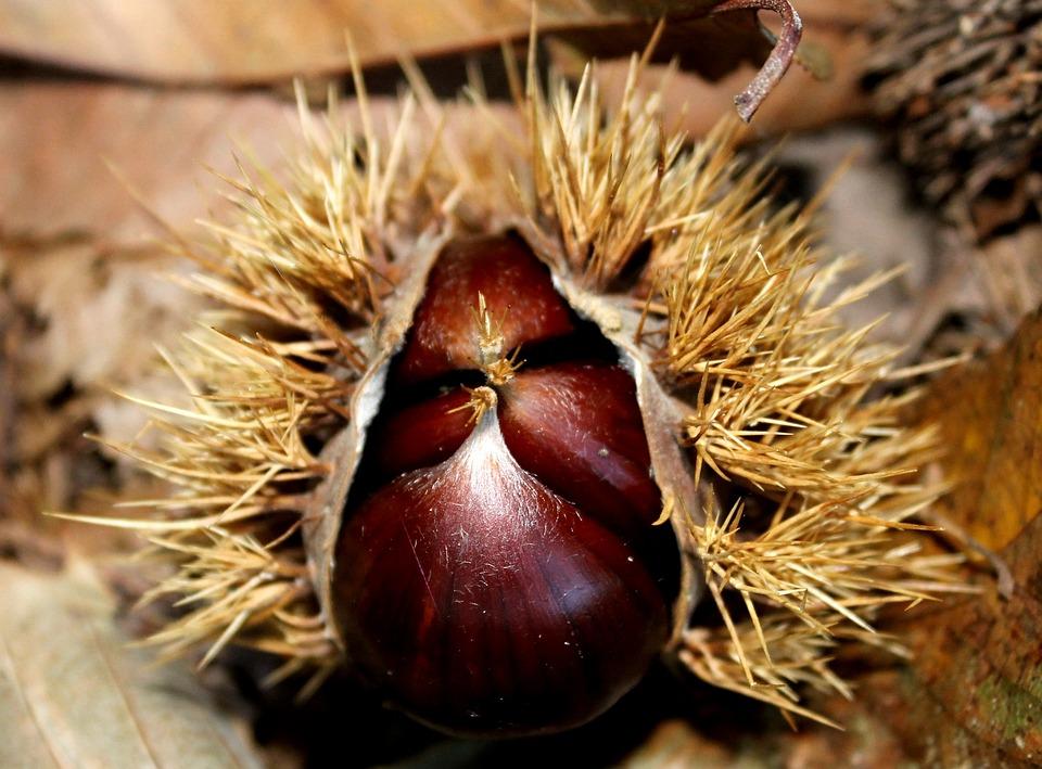 Chestnut, Autumn, Prickly, Forest Floor