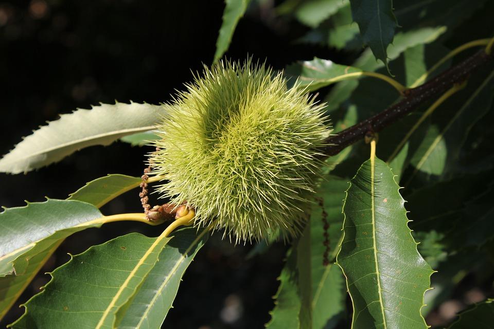 Ticino, Marroni, Tree, Chestnut, Fruit, Chestnut Tree