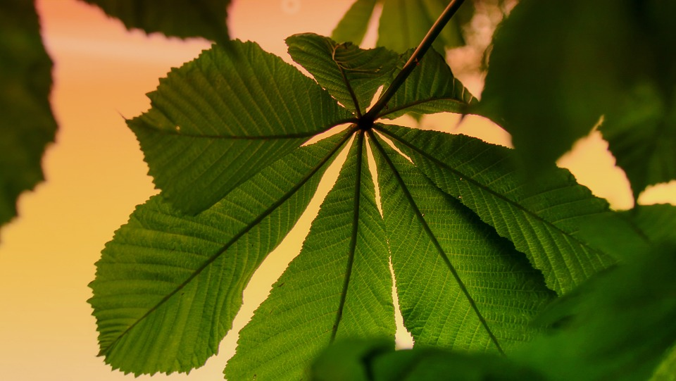 Chestnut, Leaf, Leaves, Branch, Nature, Chestnut Leaves