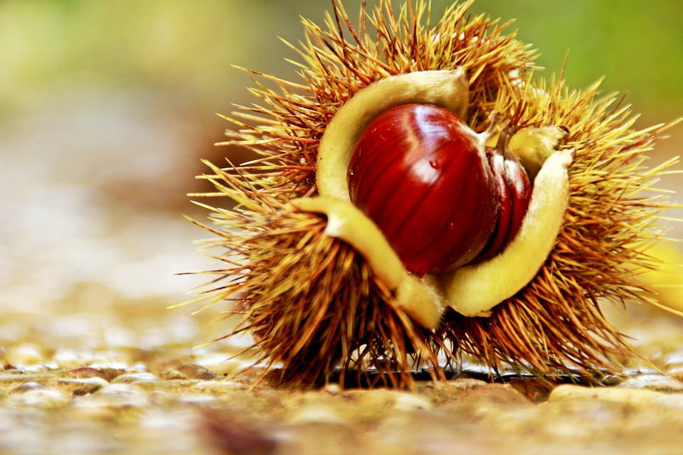 Chestnut, Spur, Maroni, Collect, Fruits, Food