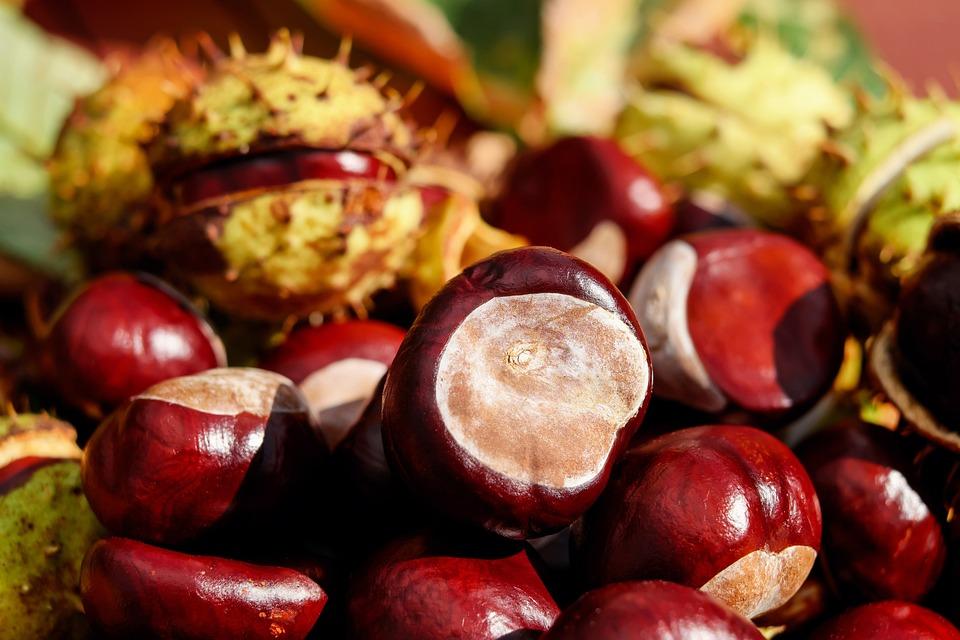 Chestnut, Ordinary Rosskastanie, Fruit, Red, Shiny
