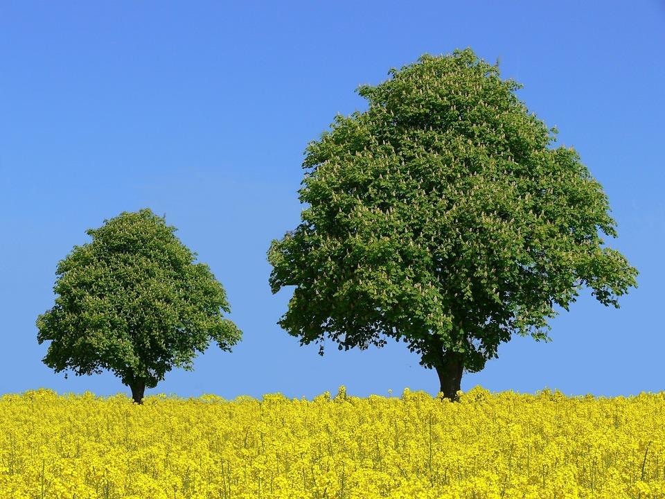 Chestnut Trees, Chestnut, Field Of Rapeseeds, Tree