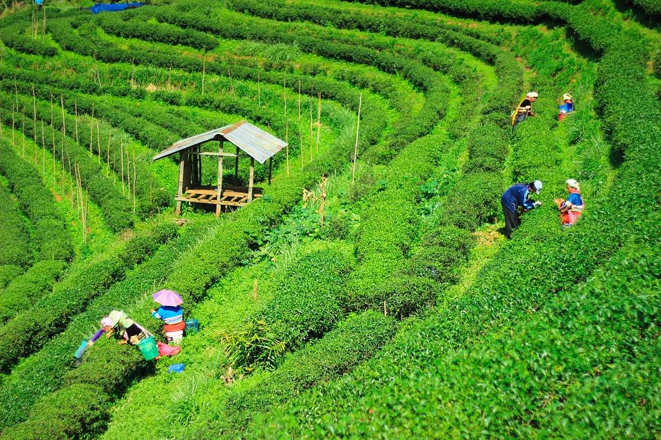 Tea Plantations, Garden, Nature, Chiang Mai Thailand