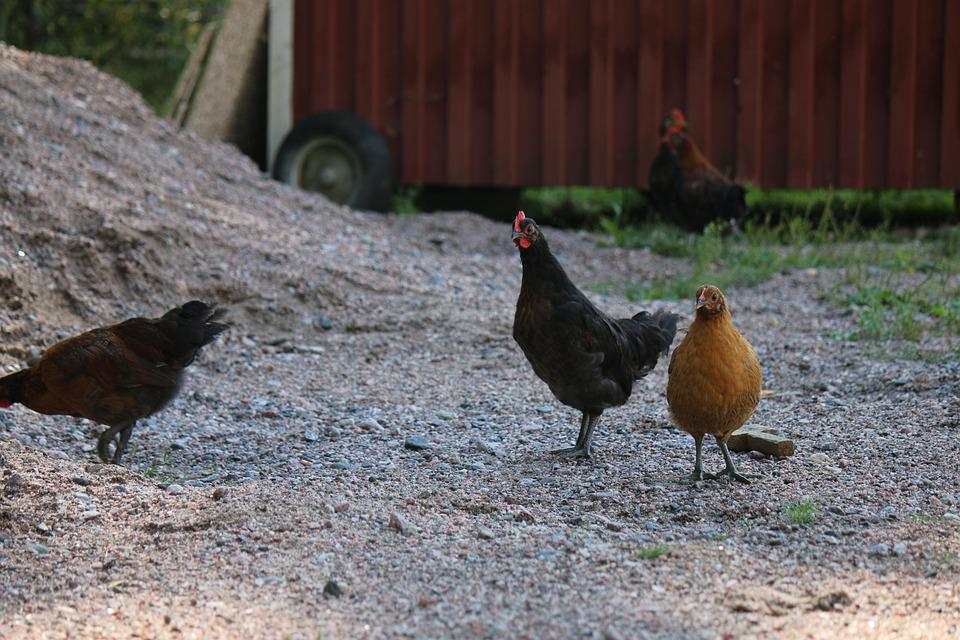 Chicken, Chick, Farm, Bird, Poultry, Young