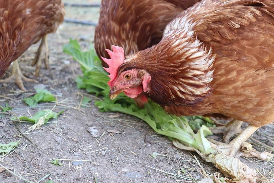 Chicken, Black, White, Farm, Bird, Animal, Chick