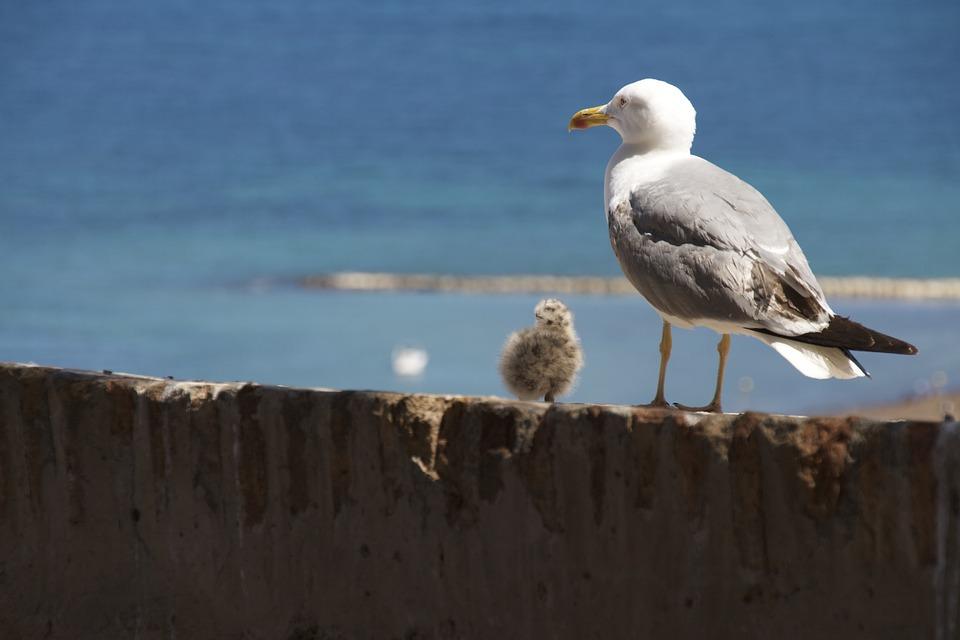 Seagull, Bird, Chick, Fauna, Wildlife