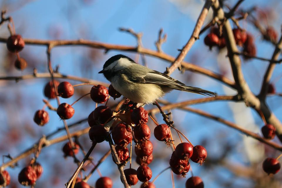Chickadee, Nature, Wildlife, Birds, Cute, Spring