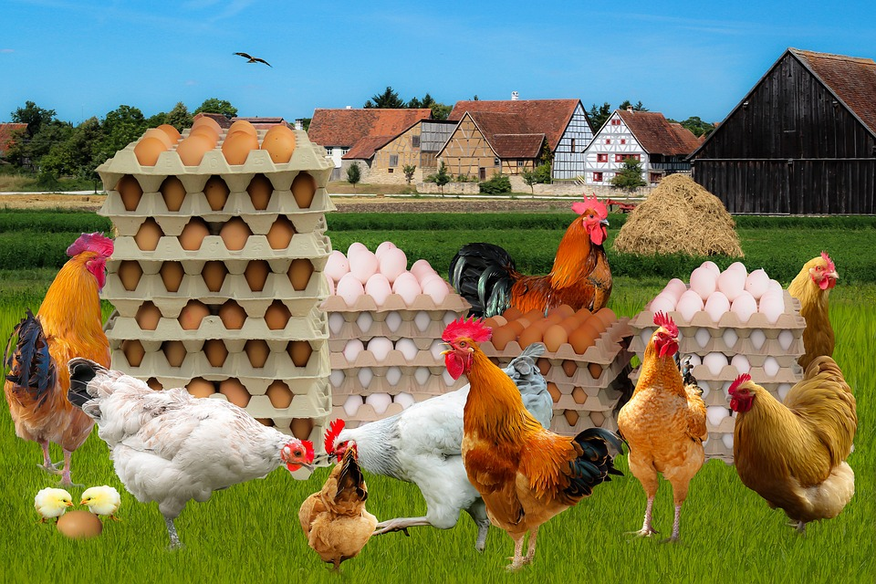 Egg, Farm, Chicken, Chicken Eggs, Food, Agriculture