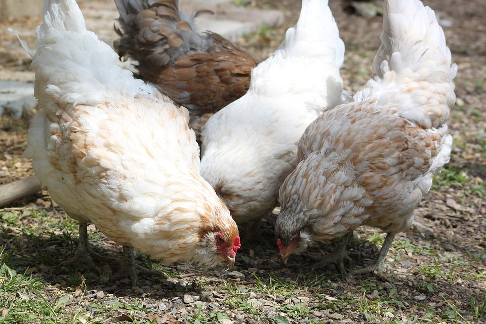 Chicken, Americauna, Farm, Animal, Bird, Group