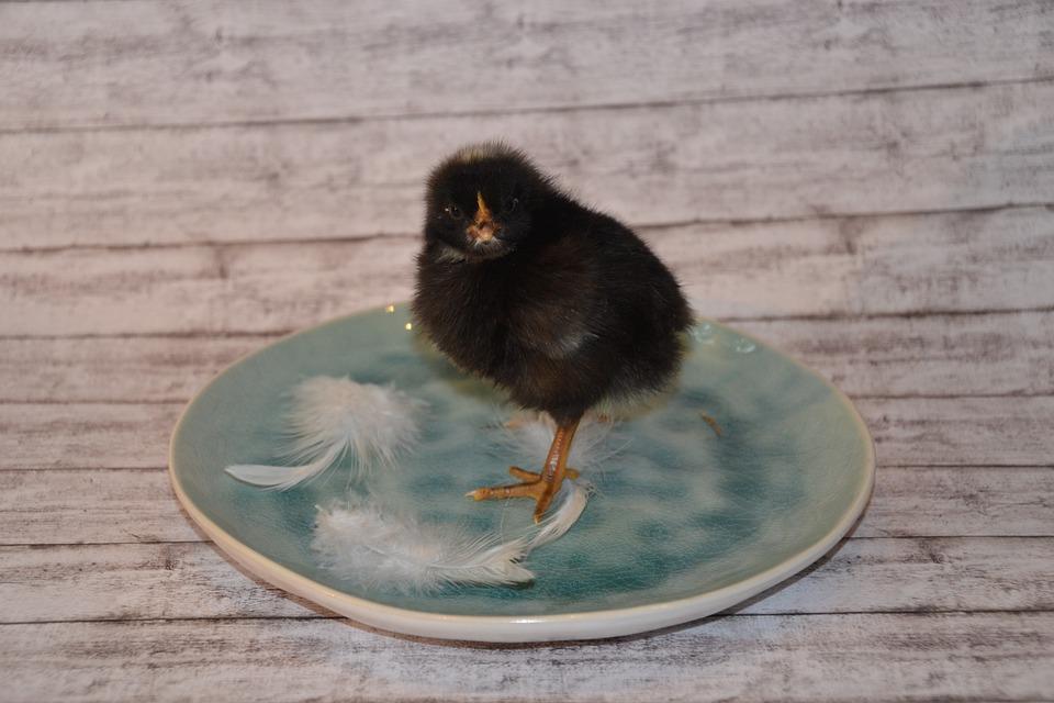 Chicks, Black, Fluffy, Cute, Bird, Chicken, Young
