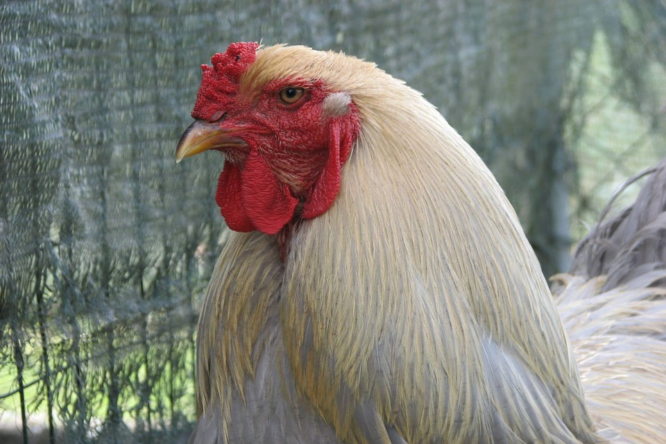 Brahma Isabel, Brahma, Chicken