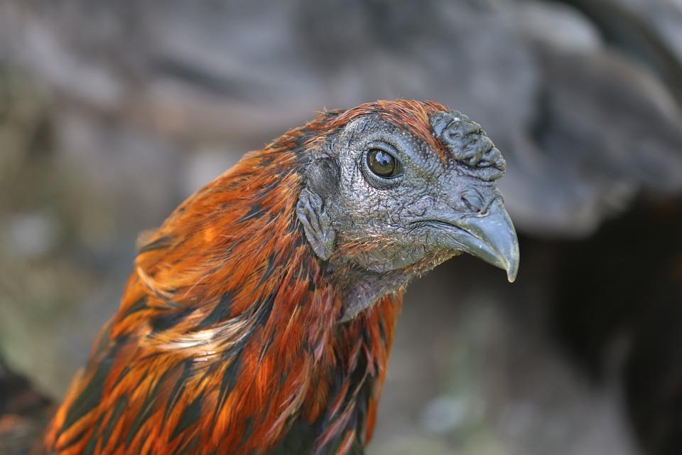 Bruges Fighter, Hen, Bird, Animal, Chicken, Poultry