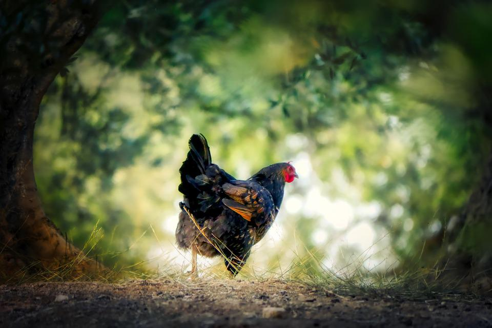 Chicken, Crete, Animal, Nature, Greece, Pet, Feather