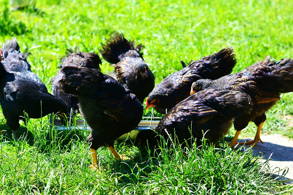 Chickens, Chicken Feed, Feeding, Young Animals
