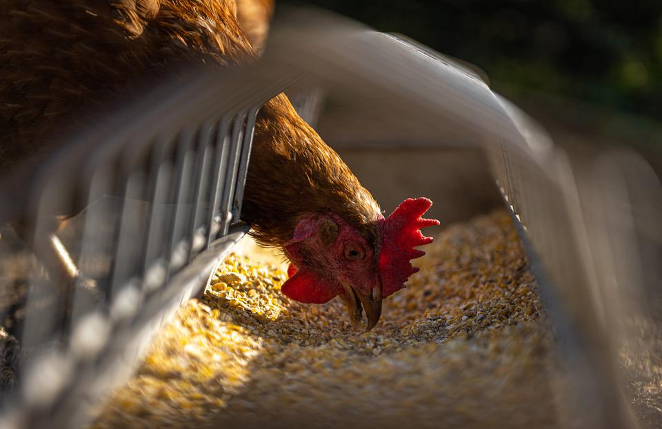 Hen, Chicken, Poultry, Animal, Fowl, Grains, Eating