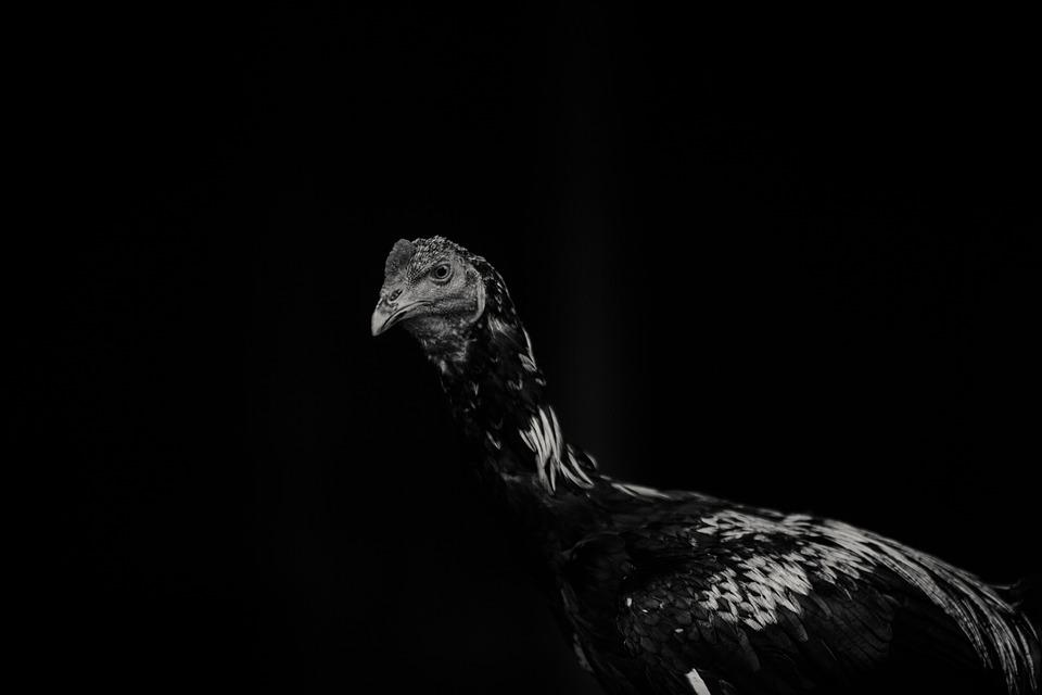 Hen, Chicken, Woodwork, Black And White, Black, Image