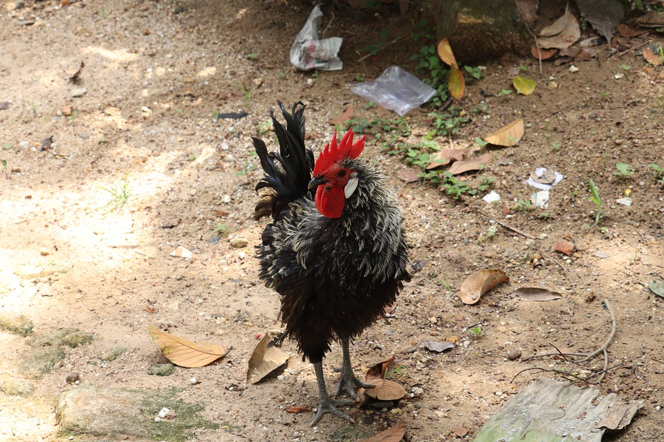 Rooster, Hen, Kerala, Poultry, Chicken, Bird, Animal