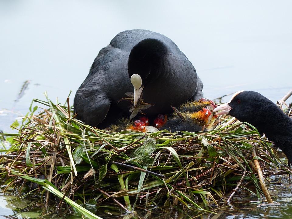 Nest, Chicken, Nature, Young Birds, Spring, Bird's Nest