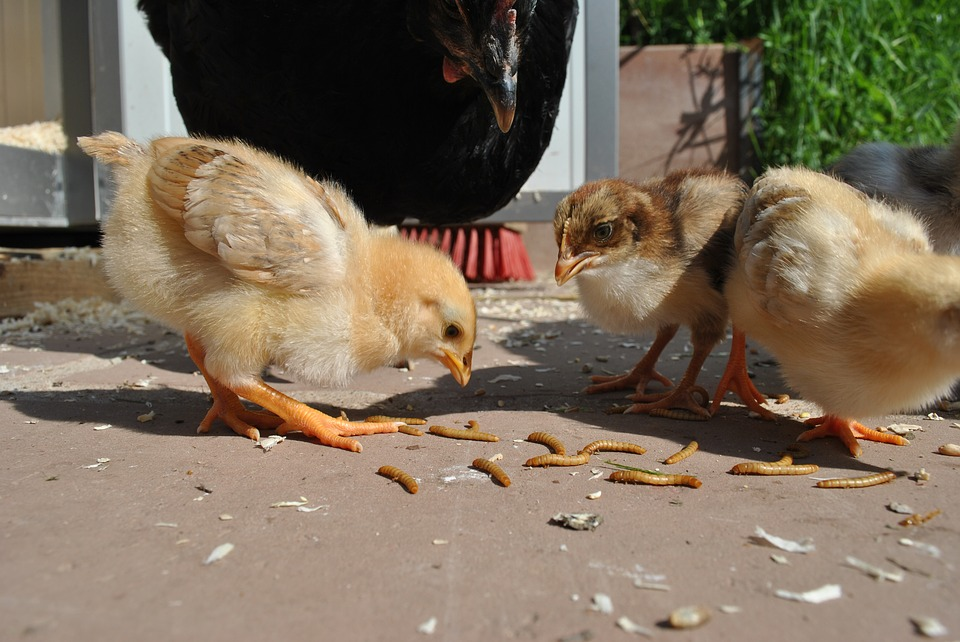Chicken, Chickens, Chicks, Young, Mother Hen