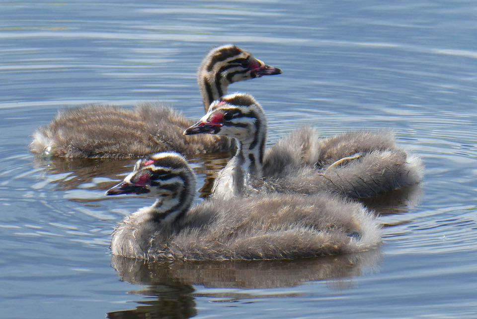 A Young Great Crested Grebe, Chicks, Cute