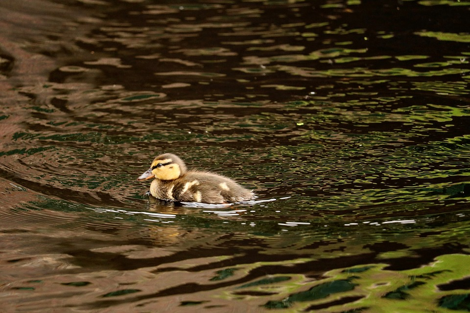 Ducky, Young, Feather, Chicks, Young Animals, Bird