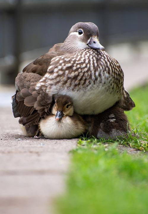 Duck, Mother, Ducklings, Protecting, Chicks, Birds