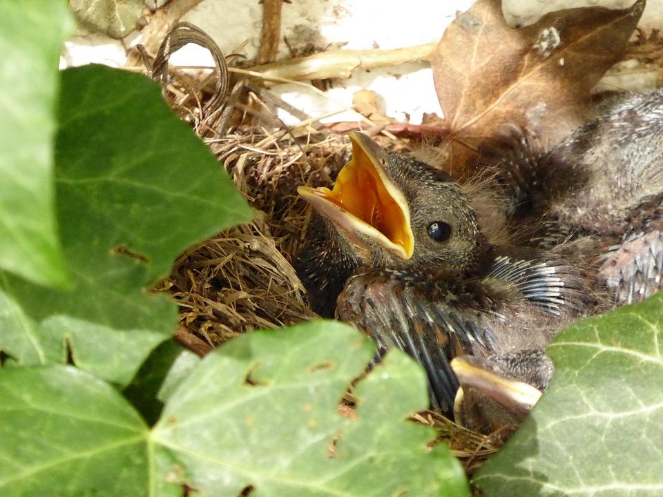 Blackbird Nest, Bird, Chicks, Blackbird, Bird's Nest