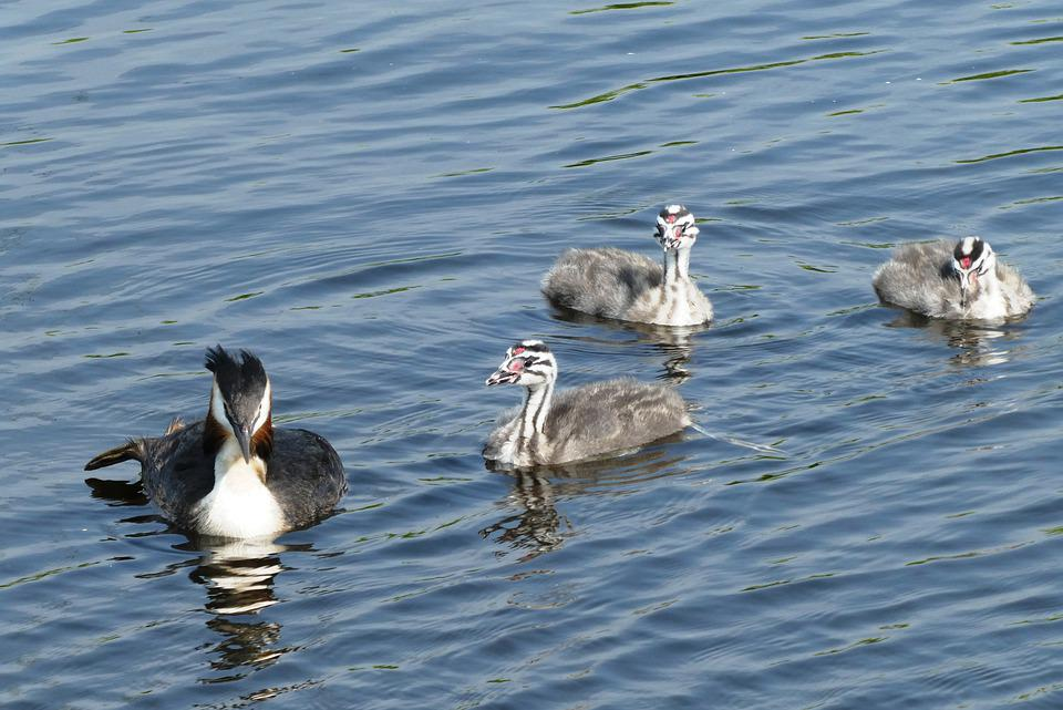 Great Crested Grebe With Young Boy, Chicks, Boy