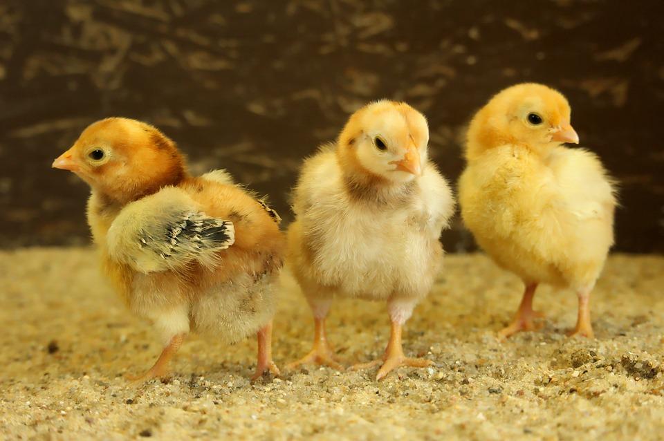 Chicks, Easter Chick, Dwarf Chickens, Animals, Farm