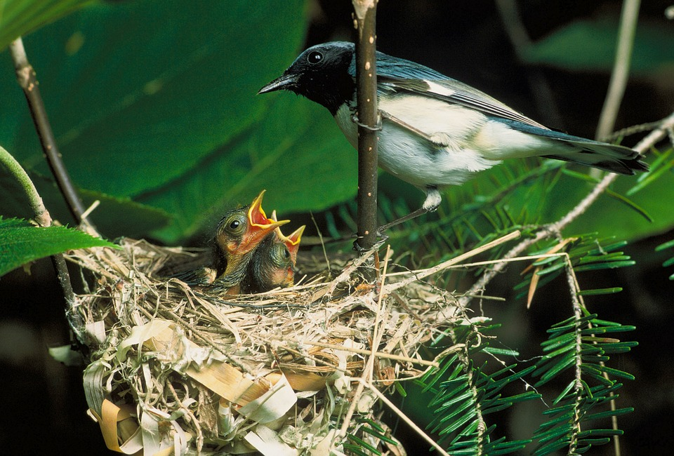 Blue-throated Blue Warbler, Bird, Nest, Chicks, Macro