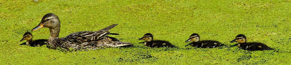 Duck, Mama, Chicks, Sweet, Cute, Bill, Plumage