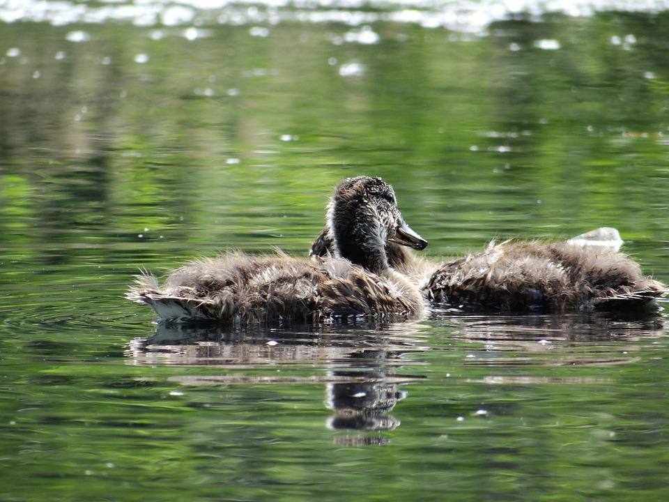 Ducklings, Chicks, Bird, Waterfowl, Swmmimg, Swim, Duck