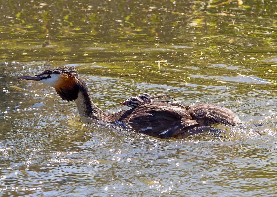 Great Crested Grebe, Chicks, Water, Nature, Swim