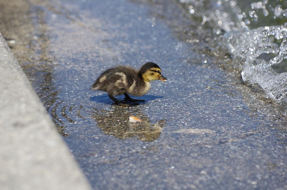 Duck, Tiny, Chicks, Water Bird, Lake Constance, Water