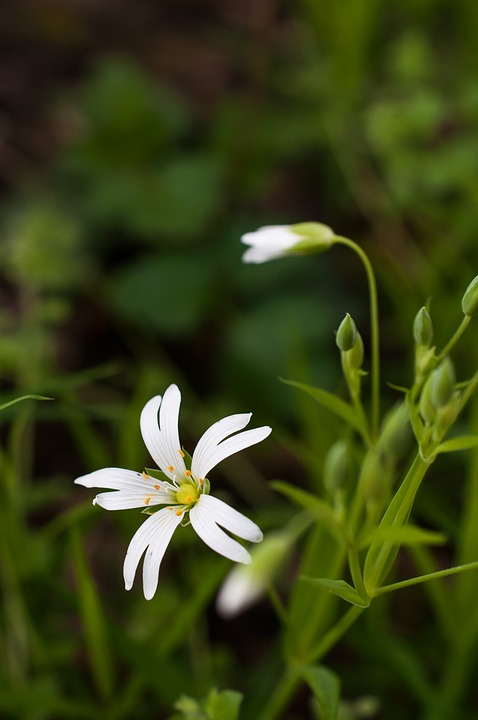 Stellaria, Flower, Chickweed, Starwort, Spring, Nature