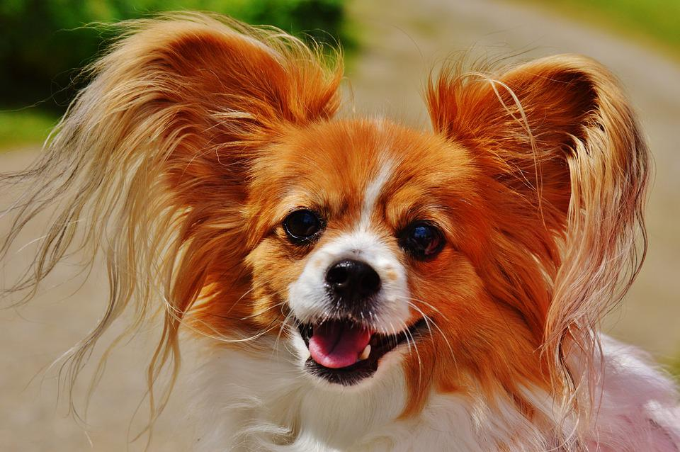 Dog, Chihuahua, Cute, Small Dog, Pets, Hairy, Fur, Out