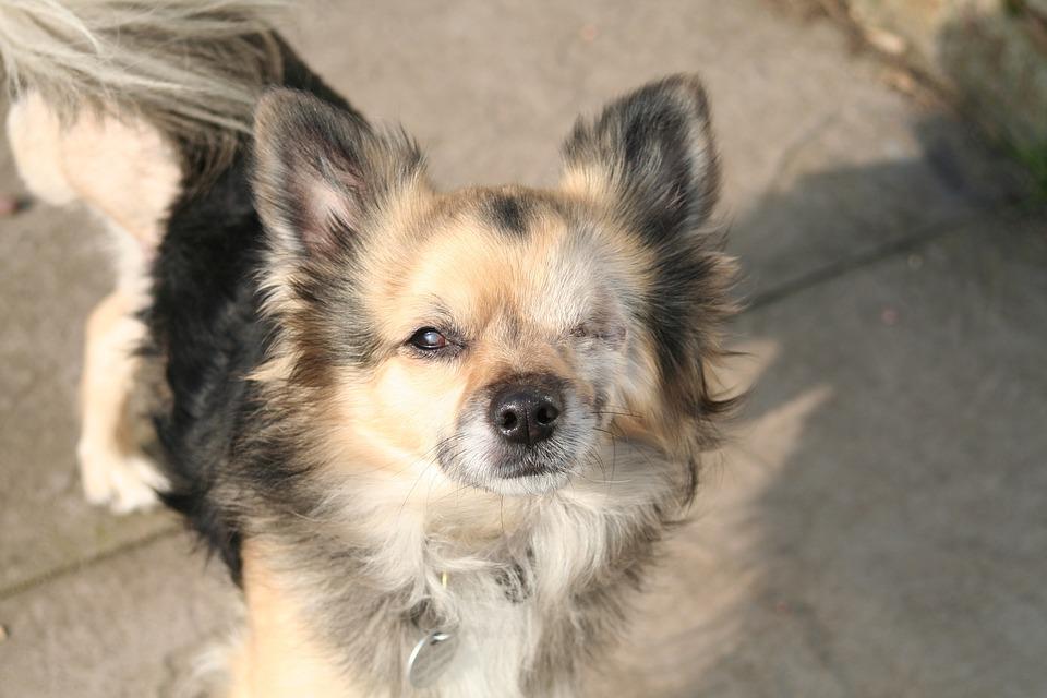 Chihuahua, Dog, Tripod, Animal, Pet, Puppy, Cute