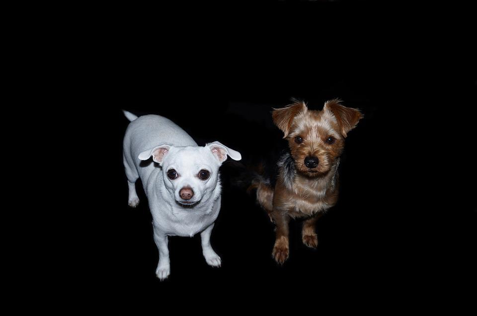 Dogs, Yorkshire Terrier, Chihuahua