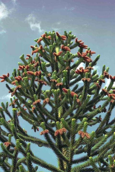 Chile Pine, Araucana, Araucaria Araucana, Chile Fir