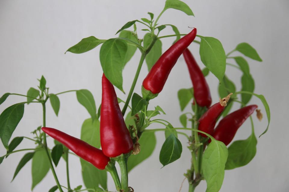 Plant, Eat, Sharp, Red, Chili