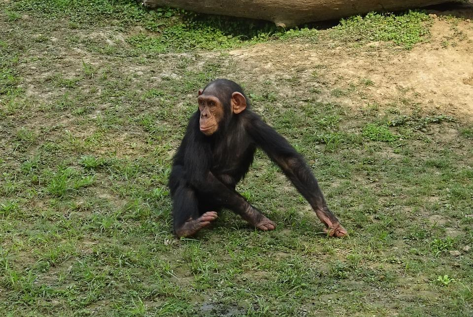Chimpanzee, Ape, Primate, Wildlife, Chimp, Mammal, Zoo