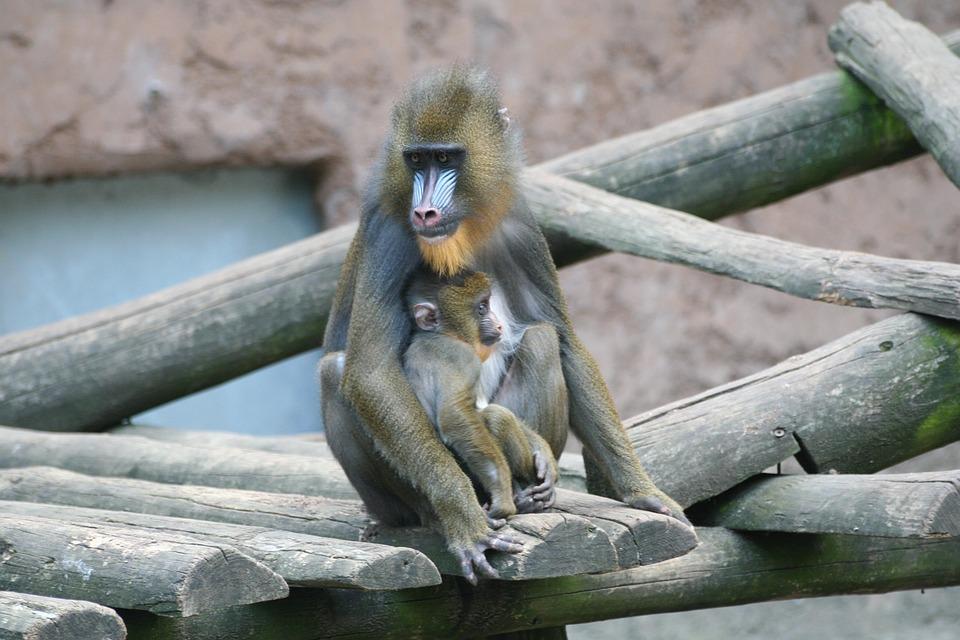 Monkey, Zoo, Animal World, Chimpanzee