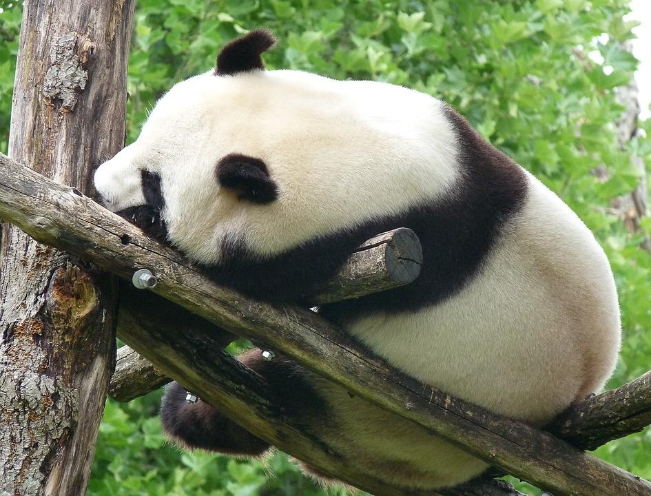 Panda, China, Wild Animal, Bear