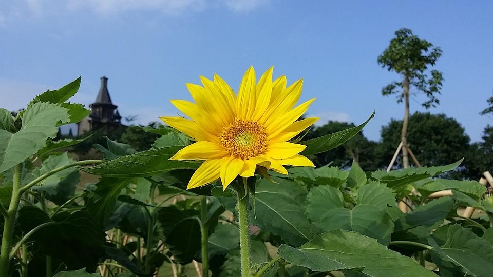 Sunflower, Blue Sky, China