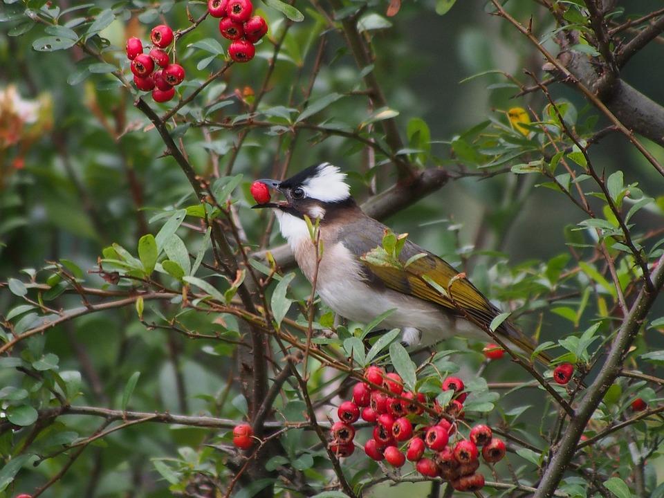 Chinese Bulbul, Bird, Park