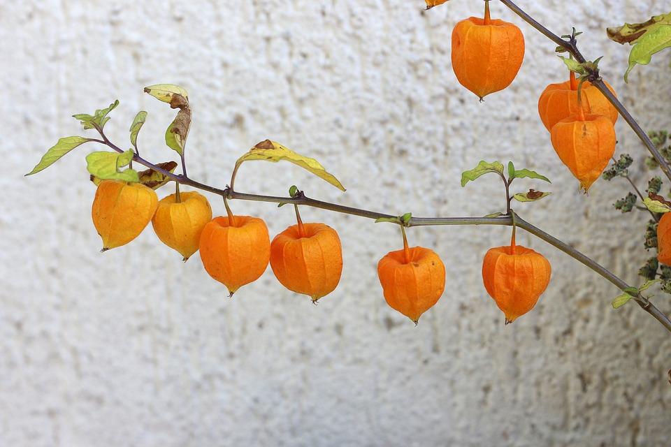 Bladder Cherry, Flowers, Plant, Chinese Lantern