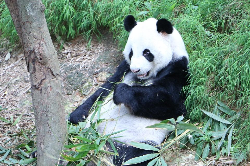 Panda, Endangered, Bear, Chinese, Bamboo