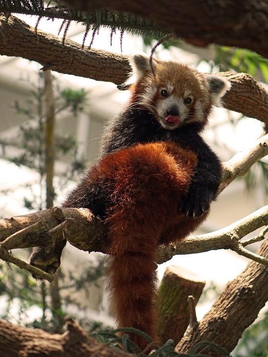 Red Panda, China, Firefox, Animal, Wildlife, Chinese