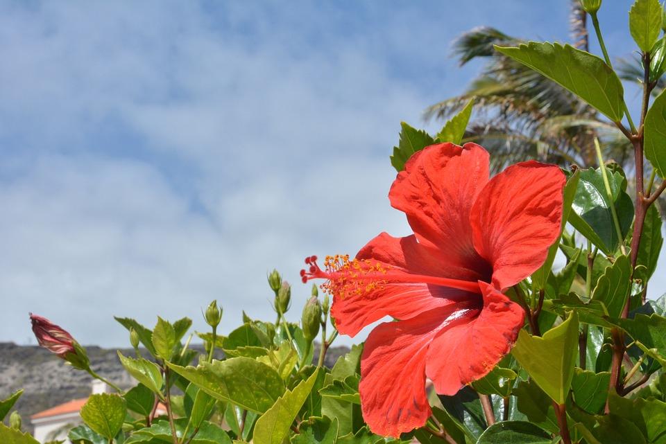 Chinese Rose, Flower, Nature, Flourish, Rose