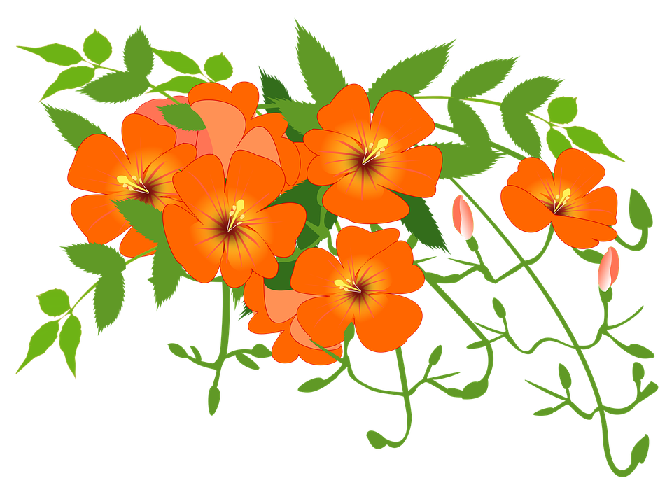 Chinese Trumpet Vine, Flower Vine, Orange, Summer